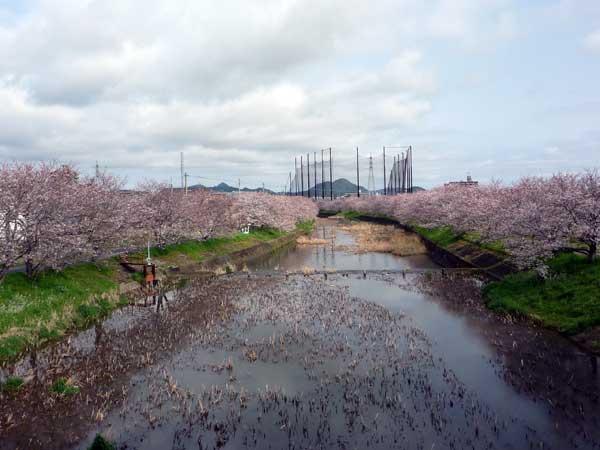 糸島 花見の名所、池田川