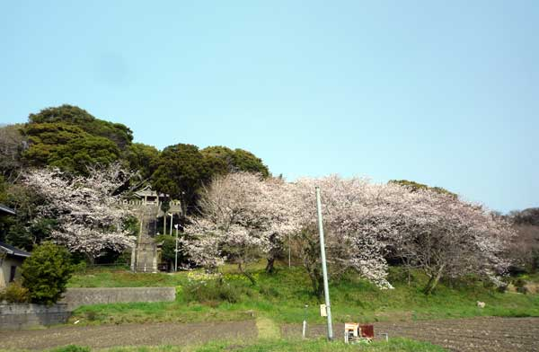 糸島 花見の名所、船越 引津神社