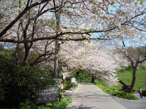糸島の花見 笹山公園の桜