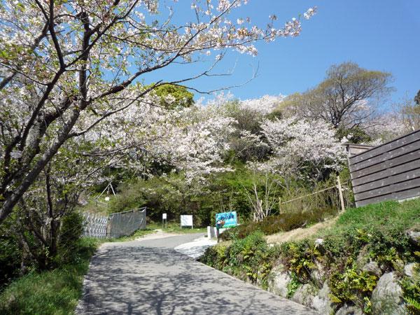 糸島の花見 加布里公園の桜