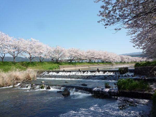 糸島の花見 池田川(瑞梅寺川)横の桜並木